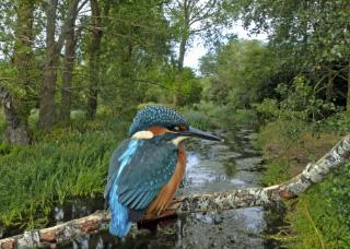 kingfisher on a bridge