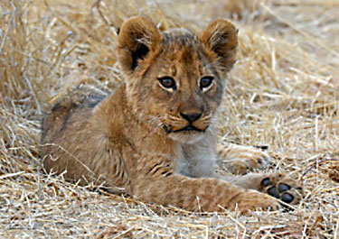 picture of african lion cub