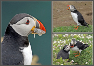 pictures of puffins