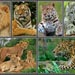 lions and tigers big cats