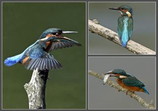 71. Kingfishers