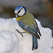 picture of blue tit