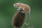 picture of harvest mouse