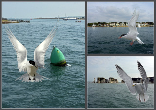 pictures of Terns and Gulls