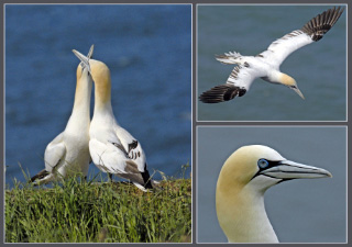 pictures of gannets