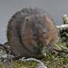 water vole
