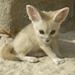 fenec fox cub