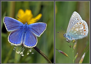 the common blue butterfly