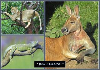kangaroos Just Chilling